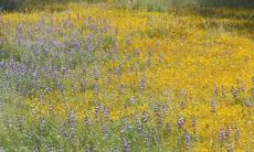 Field lupines and Goldfieilds are common wildflowers in the central oak woodland. These little annuals act to hold the system together until the shrubs and trees can file in. They are the first level of section. - grid24_6