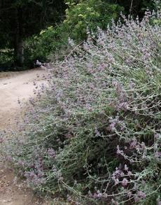 Purple Sage, Salvia leucophylla as a 30 year old bush.