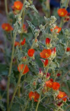 Sphaeralcea emoryi, Emory's Desert Mallow  flowers are a deep orange. - grid24_6