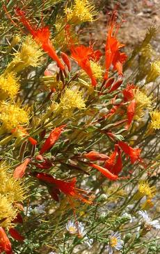 Zauschneria latifolia johnstonii, Aster chilensis and Chrysothamnus nauseosus all flower in late fall.