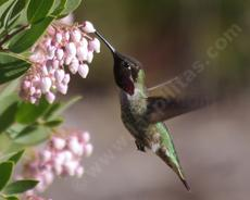 Anna Hummingbird on the flower of Ian Bush Manzanita - grid24_6