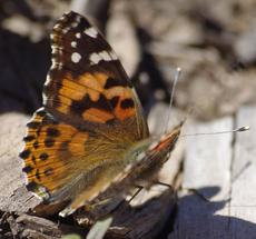 Vanessa cardui , Painted Lady in January probably just after  emerging, wing open - grid24_6