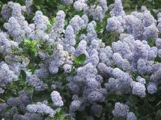 Ceanothus Remote Blue has a lot of blue flowers on green glossy foliage. - grid24_6