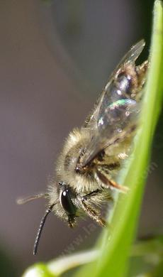 Andrena bee, is a great pollinator and lives in the ground and is called a mining bee or sand bee. - grid24_6