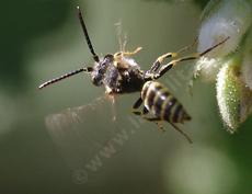 Nomada – cuckoo bee on Ribes indecorum. They were also on the Arctostaphylos Austin griffin and Ian Bush. - grid24_6