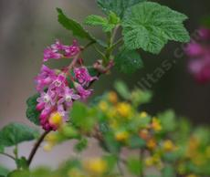 Ribes sanguineum glutinosum, Pink-Flowered Currant (wetter spot) mixed with Golden Currant,  Ribes aureum gracillimum (drier spot). - grid24_6