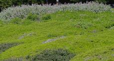 Ceanothus maritimus in foreground, Salvia Pt. Sal in background, and Baccharis Pigeon Point  in the rest of the picture. This ground cover has been in place for 30 years. It gets mowed to the ground about every 10 years and has had no water except at planting. - grid24_6