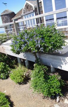 Ceanothus griseus horizontalis,  Yankee Point, espaliered by deer.  - grid24_6