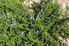 Ceanothus prostratus is a moundy ground cover  with blue flowers. - grid24_6