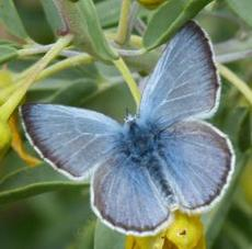 Glaucopsyche lygdamus, Silvery Blue on a Isomeris - grid24_6