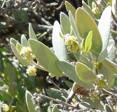 Simmondsia chinensis, Jojoba in flower - grid24_6