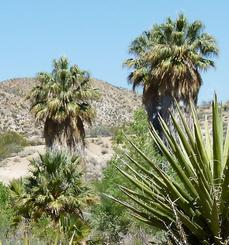 California Fan Palm (Washingtonia filifera)