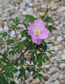 Rosa nutkana, Nootka Rose in flower
