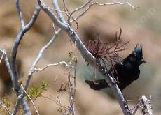 A Phainopepla checking for mistletoe berries - grid24_6