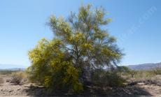Cercidium floridum, Palo Verde, sometimes called Blue Palo Verde. Without the flowers this native has a blue smoky silhouette. One of the few plants with any height out in the desert.