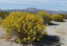 Cassia armata, Desert Senna out in Joshua tree