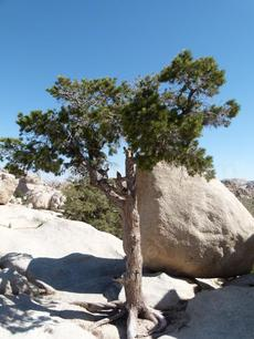 Pinus monophylla in the rocks at Joshua tree - grid24_6