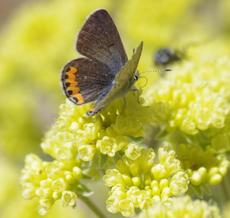 Acmon Blue Butterfly on Sulfur Buckwheat in the Santa Margarita garden. - grid24_6