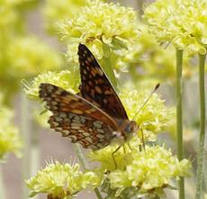 Variable Checkerspot on Sulfur Buckwheat - grid24_6