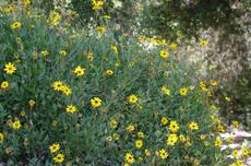 Encelia californica, Coast Sunflower, California brittlebush and Bush Sunflower grows along the coast. In Santa Barbara, Los Angeles, Pasadena, etc. it is an colorful, drought tolerant plant.  - grid24_6