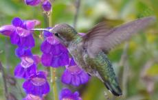 Penstemon spectabilis, Showy Penstemon, with an Anna Hummingbird. Showy Penstemon will tolerate  drought for years.  In the Bay area resist watering much after first summer. - grid24_6