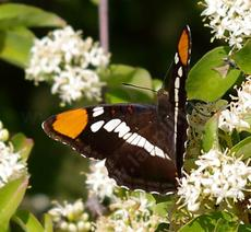 California Sister Butterfly, Adelpha bredowii californica on Cornus glabrata