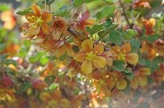 Fremontodendron californicum decumbens, Dwarf Flannel Bush makes a flower show - grid24_6