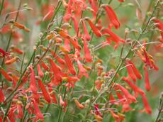 Also known as Penstemon bridgesii