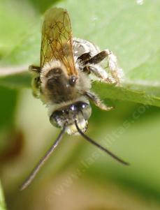 This long Horned bee was hanging out on an apple leaf. - grid24_6