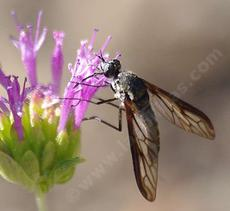 Thevenetimyia californica is a large and weird Beefly. - grid24_6