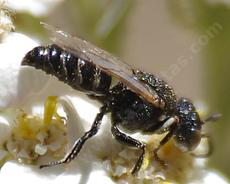 Square-headed Wasps are little fly catchers that live in sand. The females string their prey and carry the fly to the nest to feed their young. - grid24_6