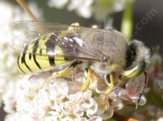 Sand Wasp, Bembix on a California Buckwheat. - grid24_6