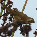 common-yellowthroat-geothlypis-trichas - grid24_6
