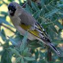 lawrences-goldfinch-carduelis-lawrencei - grid24_6