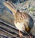 golden-crowned-sparrow-zonotrichia-atricapilla - grid24_6