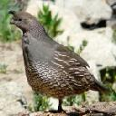 california-quail-callipepla-californica - grid24_6
