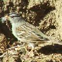 white-crowned-sparrow-zonotrichia-leucophrys - grid24_6