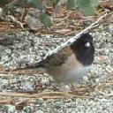 dark-eyed-junco-junco-hyemalis - grid24_6