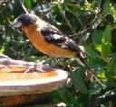 black-headed-grosbeak-pheucticus-melanocephalus - grid24_6