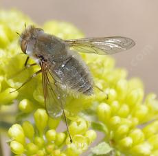 This Beefly, (Pantarbes) looks more like a fuzzy fly. - grid24_6