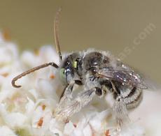 Anthophorula is a little digger bee. Maybe 6mm (1/4 inch) long that appears white to the naked eye. Busy little thing. Here on a California Buckwheat. - grid24_6