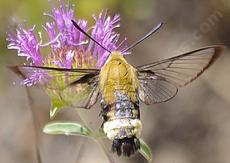 Hemaris diffinis, Snowberry clearwing is a very fast flier that mimics a bumblebee. - grid24_6