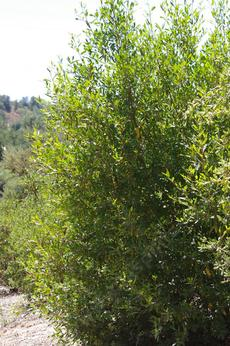 Rhamnus californica, Coffeeberry can make a good hedge. - grid24_6