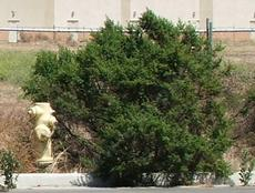 Coyote Bush in a vacant lot in Salinas. - grid24_6