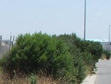Coyote Bush as a hedge looks natural. But man disturbed the area and created a site for the Coyote Bush. Is that natural? - grid24_6