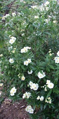 Bush Anemone makes a nice narrow hedge. - grid24_6