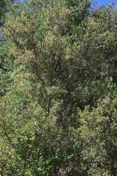 Cercocarpus betuloides in the wild. This Mountain Mahogany  is about 30 years old. In most areas of California Mountain Mahogany makes a 5-6 ft. drought tolerant hedge. Useful in places like Los Angeles where green seems to be missing. - grid24_6