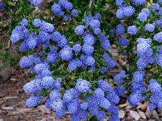 Ceanothus Concha is a very photogenic Mountain Lilac. Flowers can range from almost pink to royal Blue and into deep sky blue.
