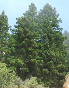 Young Coast Redwood, Sequoia sempervirens along the Big Sur Coast - grid24_6