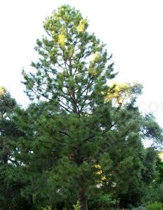This Ponderosa Pine is about 20 years old. - grid24_6